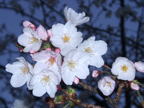 20090327桜