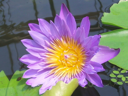 20090412蓮の花1