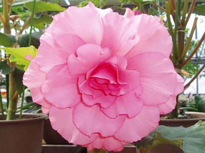20090412お花