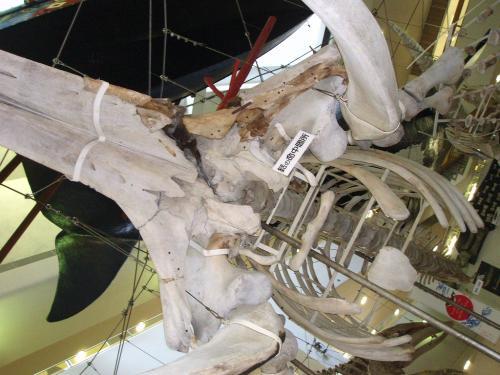 20090429鯨の骨