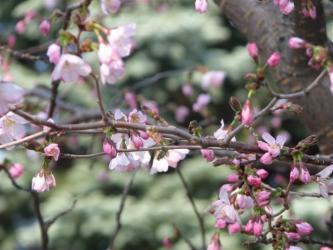 4月25日桜の花びら