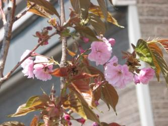 5月11日八重桜