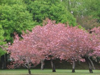 5月15日桜