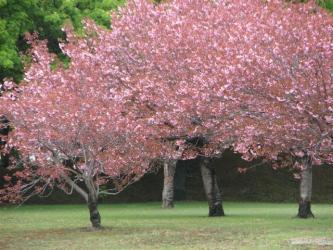 5月15日桜2