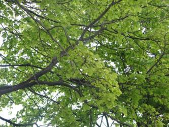 5月17日新緑ポプラ