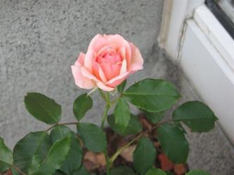 7月8日バラ1
