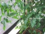 2009.6.23 tomato