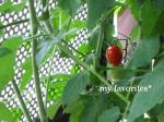 2009.6.23 tomato appu
