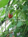 2009.6.26 tomato