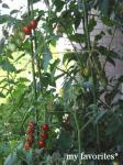 2009.7.15 tomato appu