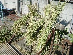 刈り取られた稲たち