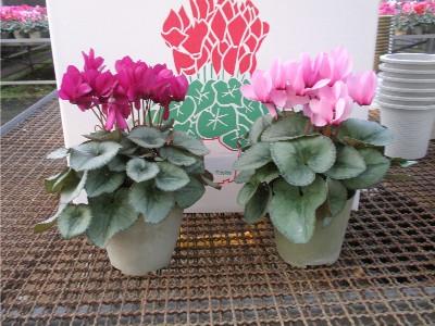 芳香シクラメン[四季咲き]5号鉢2鉢セット