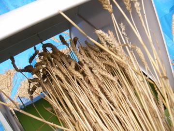 小麦脱穀2