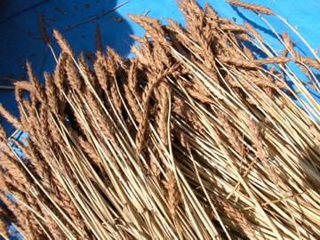 南部小麦21