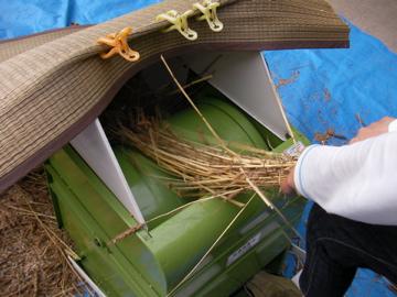 南部小麦22