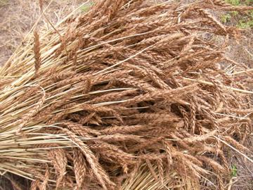 南部小麦1