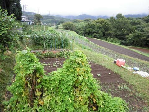 野菜畑37