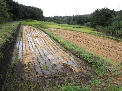 稲刈り済34