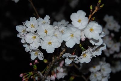 夜桜も綺麗ですね