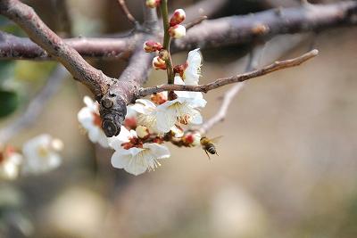梅の花とミツバチ