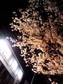 八幡の夜桜