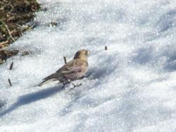 ハギマシコ「雪の上は餌がないので嫌いです」