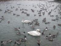 白鳥&カモ03