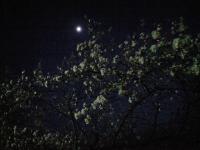 20080412/松本城 夜桜02