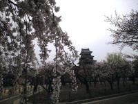 20080412/松本城 桜02