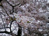 20080412/松本城 桜03