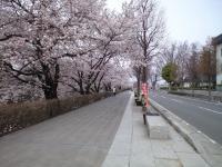 20080412/松本城 桜05
