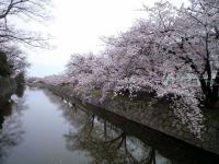 20080412/松本城 桜06