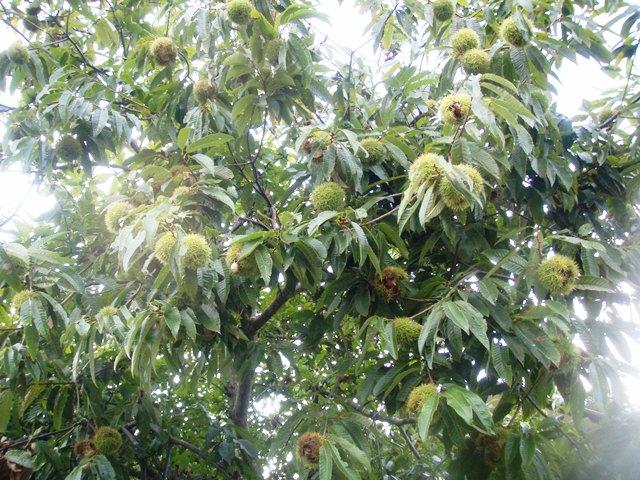 栗の木110926