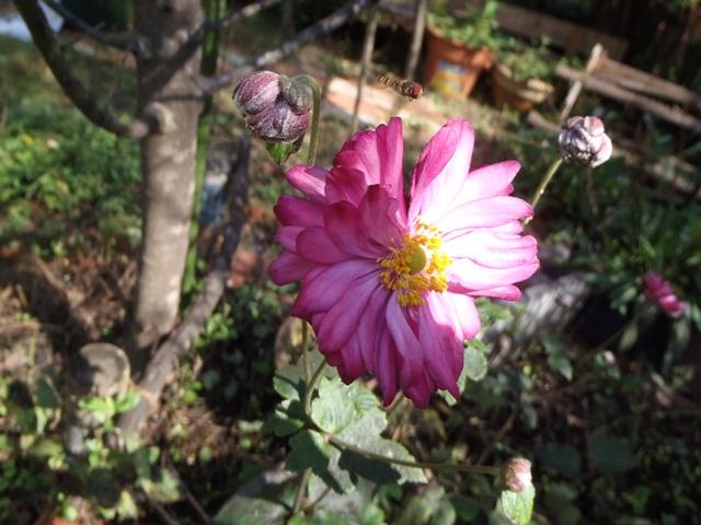八重の秋明菊111016