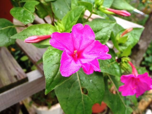 赤いオシロイ花111026