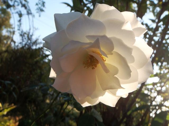 白い薔薇111029