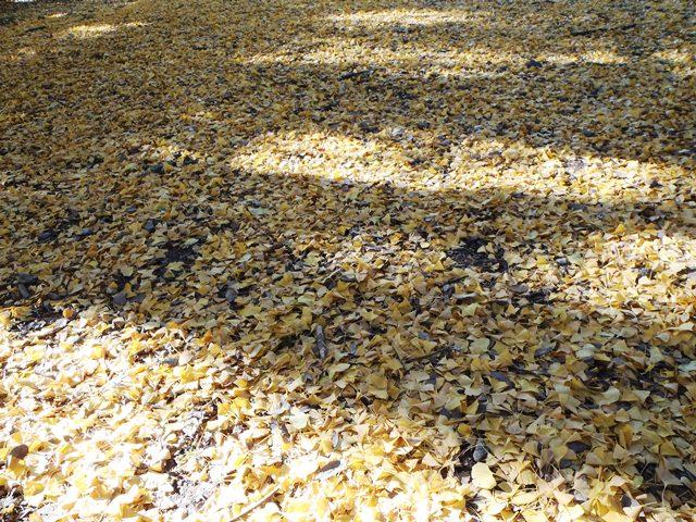 銀杏の絨毯111126