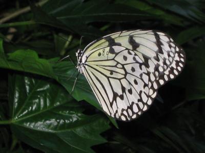 箕面昆虫館のオオゴマダラ