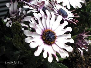 オステオスペルマム スプーン咲き