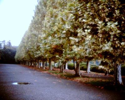 雨上がりのプラタナス並木:Entry