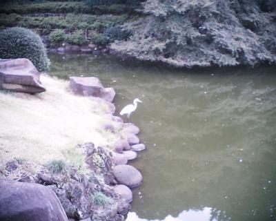 水辺に立つダイサギ:R2