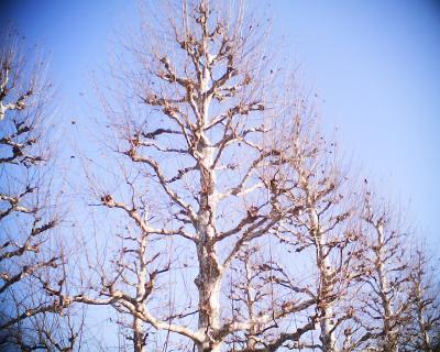 冬枯れのプラタナス並木:R2