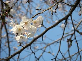桜0406