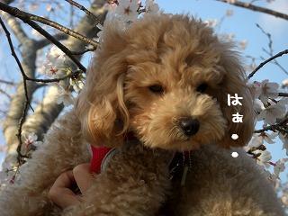 桜とさくら0406