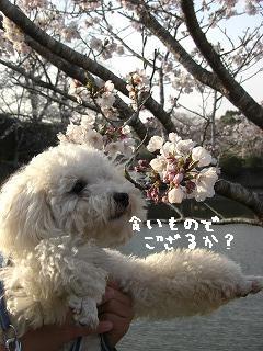 桜とももたろ0406