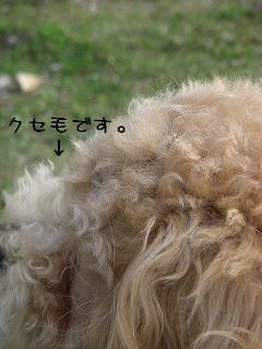 さくらのクセ毛