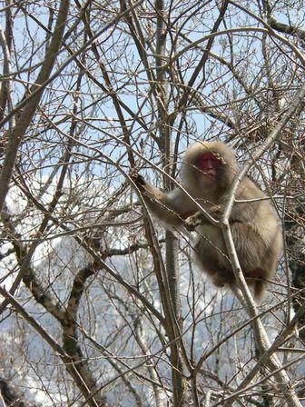 上高地の猿