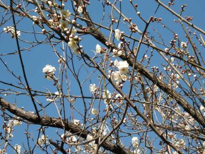隣の梅の木