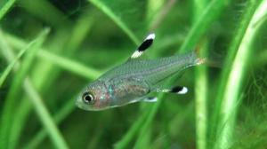 プリステラ稚魚