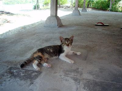 ムンジャンガン猫
